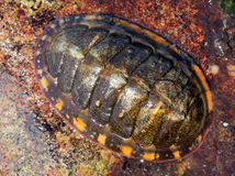 Lined Chiton - Tonicella lineata Royalty Free Stock Image