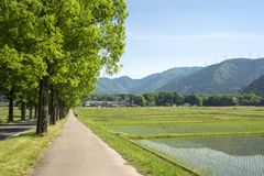 Trees beside rice field Royalty Free Stock Photo