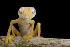 Lined Flat-tail Gecko (Uroplatus lineatus) Royalty Free Stock Photos