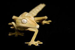 Lined Leaf Tail Gecko Royalty Free Stock Image