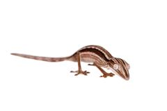 Lined Leaf-tail Gecko, Uroplatus lineatus on white Stock Image