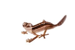Lined Leaf-tail Gecko, Uroplatus lineatus on white Royalty Free Stock Photo