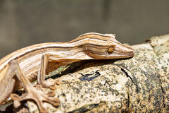 Lined Leaf-Tailed Gecko Royalty Free Stock Images