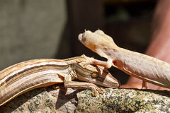 Lined Leaf-Tailed Geckos Royalty Free Stock Photo