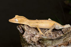 Lined leaftail gecko, marozevo Royalty Free Stock Photo