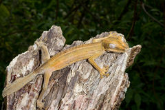 Lined leaftail gecko, marozevo Royalty Free Stock Images