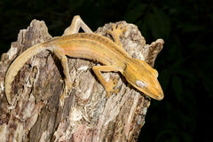 Lined leaftail gecko, marozevo Royalty Free Stock Photos