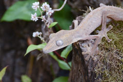 Lined leaftail gecko (Uroplatus), madagascar Royalty Free Stock Images