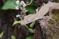 Lined leaftail gecko (Uroplatus), madagascar Stock Image