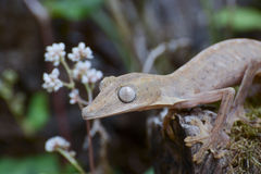 Lined leaftail gecko (Uroplatus), madagascar Royalty Free Stock Photography