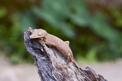 Lined leaftail gecko (Uroplatus), madagascar Stock Photography