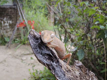 Lined leaftail gecko (Uroplatus), madagascar Stock Images