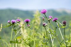 Lined purple thistle flowers. Cirsium japonicum in front of green blur Stock Image