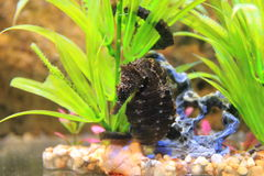 Lined seahorse stock photos