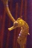 Lined seahorse Hippocampus erectus Stock Photo
