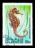 Lined Seahorse Hippocampus erectus, Fish serie, circa 1980. MOSCOW, RUSSIA - JANUARY 2, 2018: A stamp printed in Guinea shows Lined Seahorse Hippocampus erectus Royalty Free Stock Images