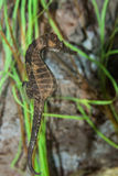 Lined Seahorse Stock Images