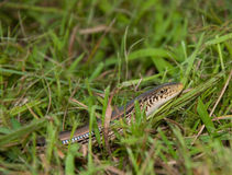 Lined snake Royalty Free Stock Photos
