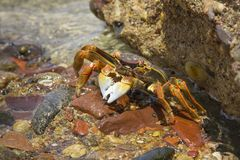 Lined striped shore crab. On the  beach of Eilat, Israel Royalty Free Stock Images