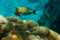 Lined surgeonfish. (Acanthurus lineatus) and coral reef Stock Photo