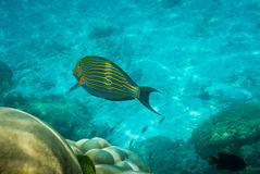 Lined surgeonfish. (Acanthurus lineatus) and coral reef Royalty Free Stock Photography