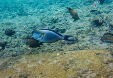 Lined surgeonfish in Red sea. Lined surgeonfish swimming over the corals and other fish. Red sea. Egypt Royalty Free Stock Photography