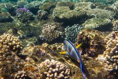 Lined Surgeonfish. Swimming over the corals. Red sea. Egypt Royalty Free Stock Photo