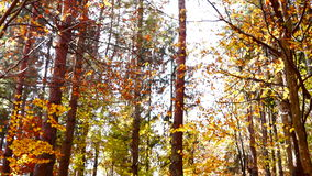 Lined trunks in autumn forest with falling copper-coloured leaves, tilt up. Tree crowns in autumn with falling copper-coloured leaves stock video