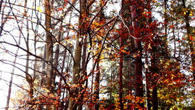 Lined trunks in autumn forest with sunbeams, tilt up stock video