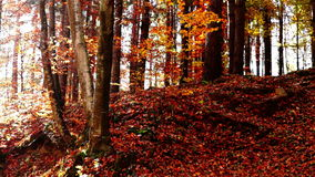 Lined trunks in autumn forest with sunbeams stock video footage