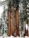 Lined up巨型美国加州红杉一个完善的看法  免版税库存图片