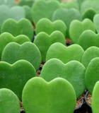 Lined up绿色霍亚Kerrii或幸运心脏厂,闭合的垂直的图象 图库摄影