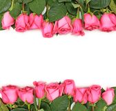 Lined up Pink Roses on White Stock Photography