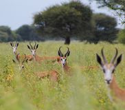 Lined-up stare - Springbuck Stock Images