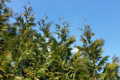 Lined up Thuja trees. Thuja trees lined up under the sky of spring Royalty Free Stock Photos