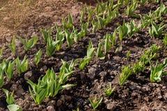 Linee di giovani germogli dei tulipani in un giardino nella molla in anticipo immagine stock
