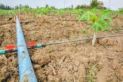 Linee di tubatura di plastica per consegnare acqua nelle piantagioni della manioca Fotografia Stock