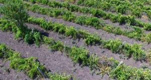 Linee rette delle vigne in Bulgaria stock footage