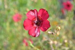 Linen flower Stock Image