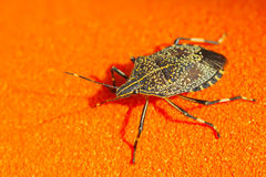 Linen skin stinkbug Royalty Free Stock Images