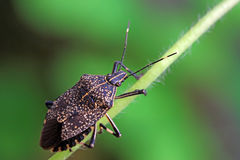 Linen skin stinkbug Stock Photo