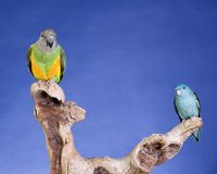 Lineolated Parakeet and Senegal Parrot Royalty Free Stock Images