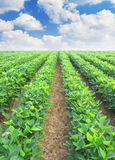 Lines from agricultural plants Royalty Free Stock Photos