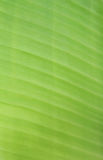 Lines of banana leaf Stock Images