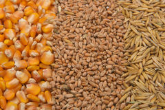 Lines of beans of dried corn, oat and wheat lying on jute canvas Stock Image