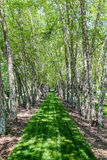 LInes of Birch Trees Royalty Free Stock Photos
