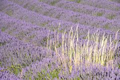Lines of blooming lavender field and a bunch of blond colored herbs royalty free stock photos