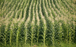 Lines of corn Royalty Free Stock Photos