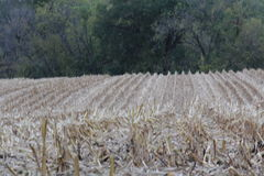 Lines. Cornfield with lines Royalty Free Stock Photo