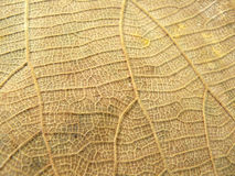 Lines detail on gold dry leaf. Close up of lines detail on gold dry leaf texture background Royalty Free Stock Photos